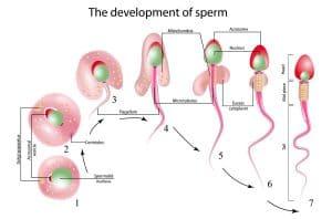 Spermatogenese